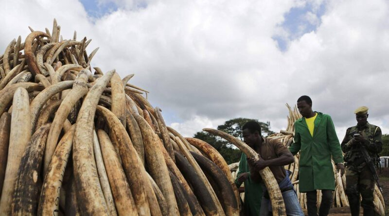African Elephants Critically Endangered Due to Illegal Ivory Trade