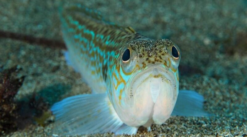 Trachinus draco, Jadransko more, otrovna riba, morski pauk, riba dragana